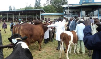 Champion bull-overall winner at Baringo County