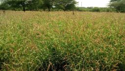 African Foxtail Grass