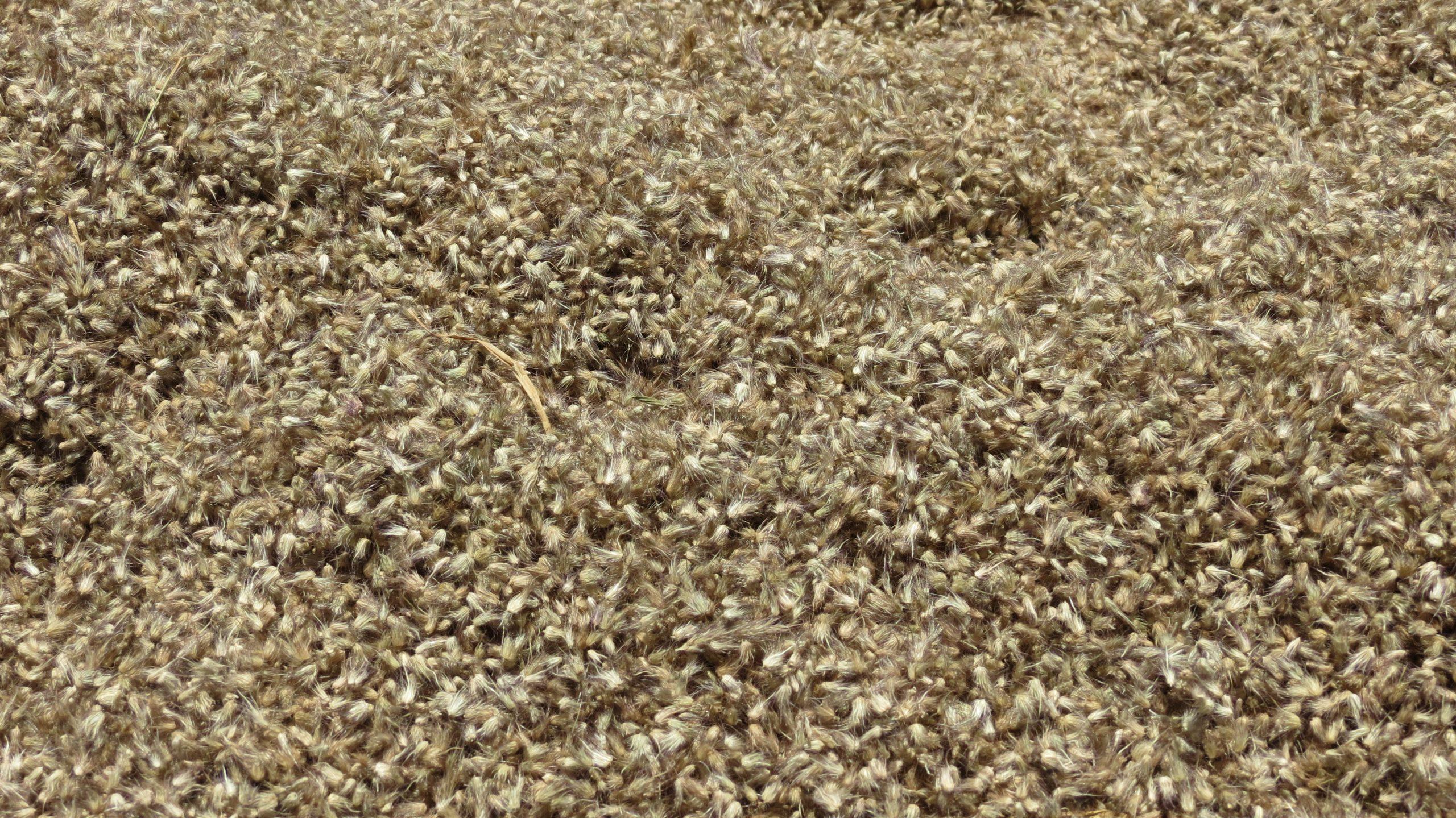 pasture seed