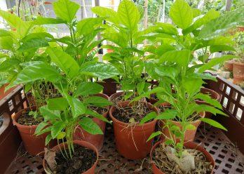 fruit_seedlings