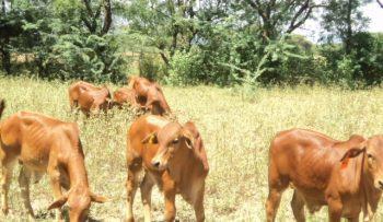 Bull Calves_ African Foxtail Grass