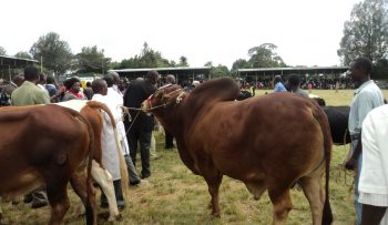 Champion bull-overall winner at Baringo County 1