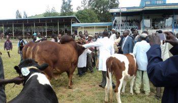 Champion bull-overall winner at Baringo County